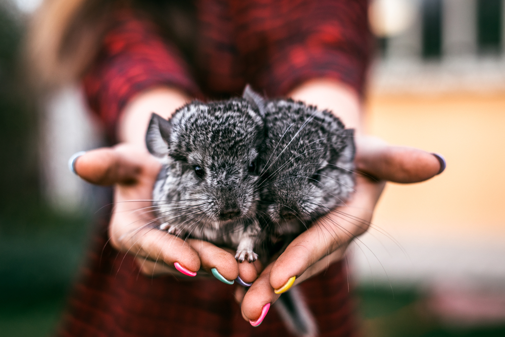 chinchilla care niche